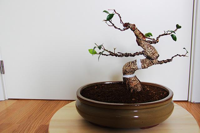 Evolución Ficus Retusa Arx1368550836c