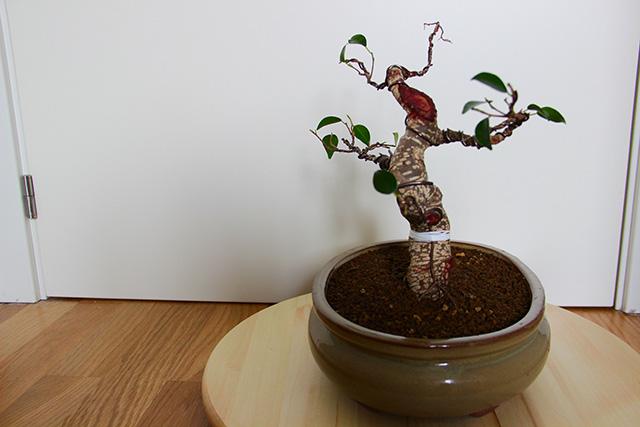 Evolución Ficus Retusa Bfi1368550847x