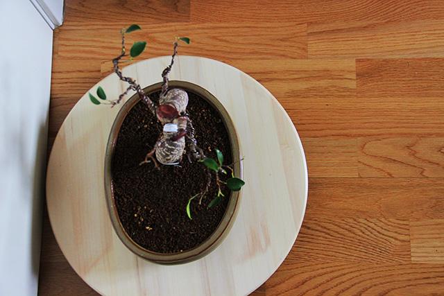 Evolución Ficus Retusa Viu1368550907z