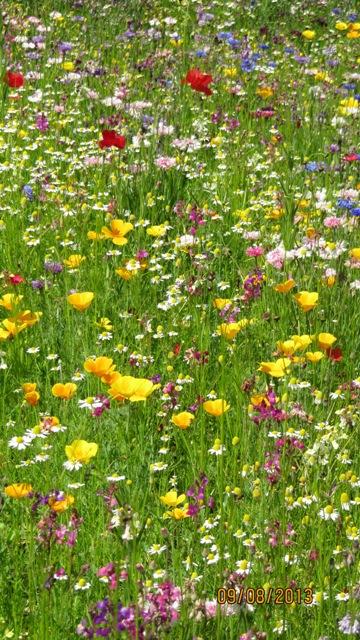 Pradera natural a la que quiero a adir flores - Cesped japones fotos ...