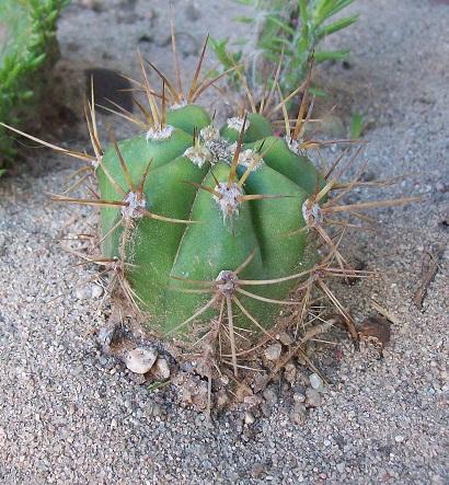Muchos cactus para identificar - Infojardin cactus ...