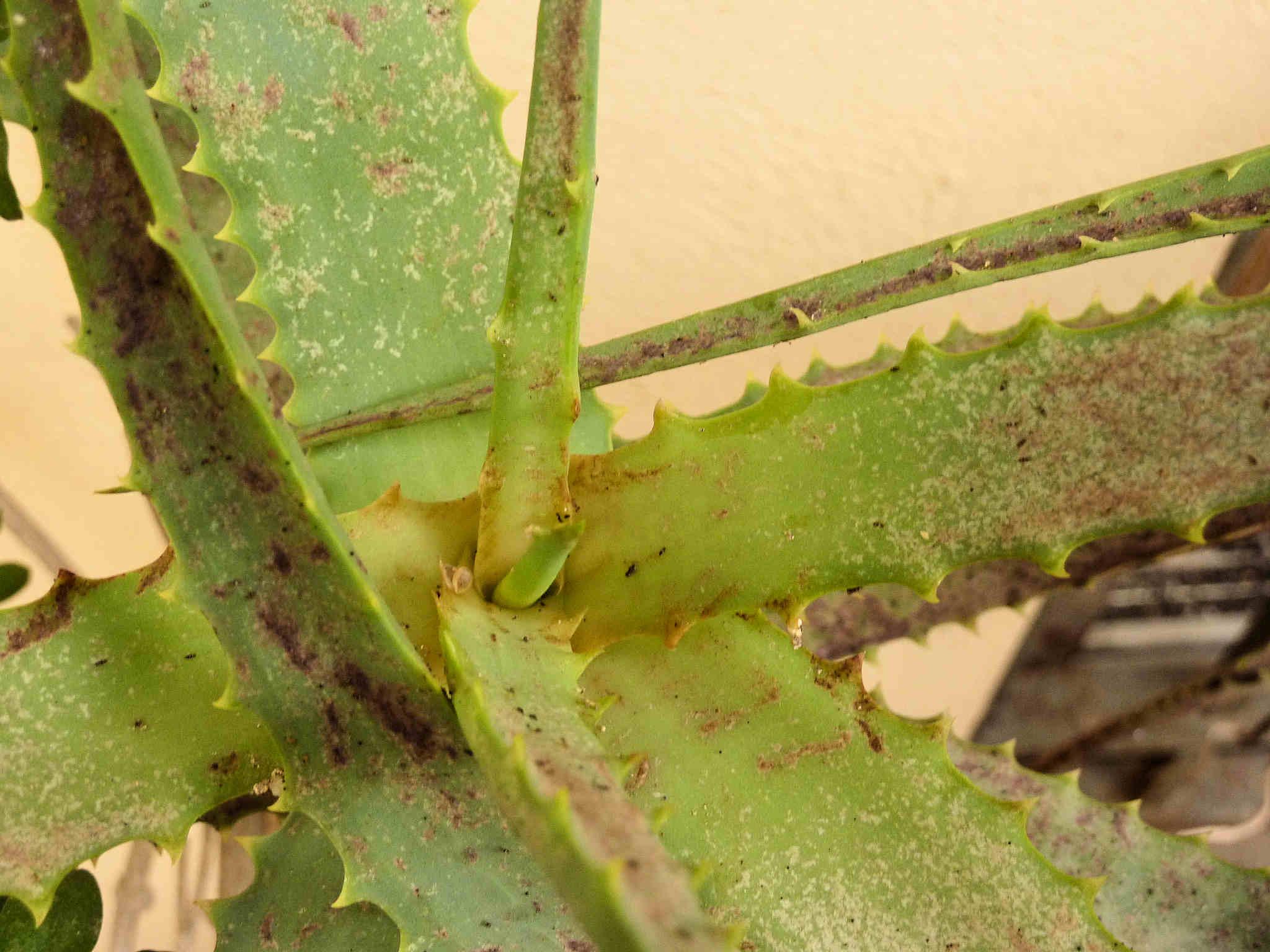 Plaga insectos Aloe vera (hojas secas y de color rojizo-violáceo ...