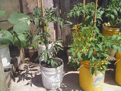 Cultivar tomates en macetas de 20 litros se puede - Tomates cherry en maceta ...