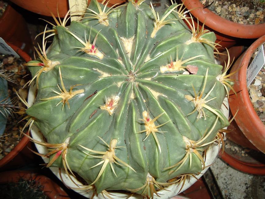 Algunos ferocactus for Vivero feroxcactus