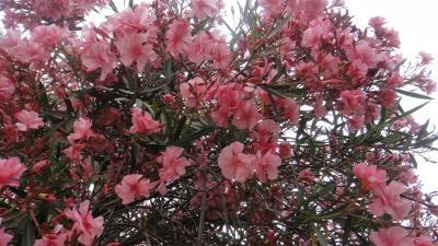 Arbol de flores color rosa - Arbol de rosas ...