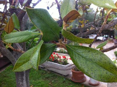 Magnolio con 30 a os enfermo - Cuidados del magnolio ...