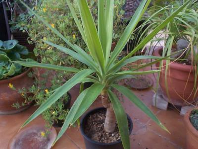 Plantas que necesiten poca luz - Yuca infojardin ...