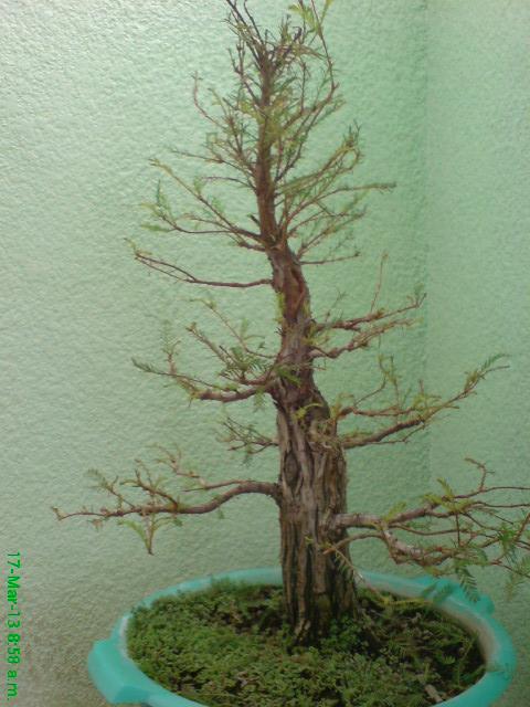 mi primer taxodium mucronatum (Ahuehuete) - Página 2 Bwy1363820687v