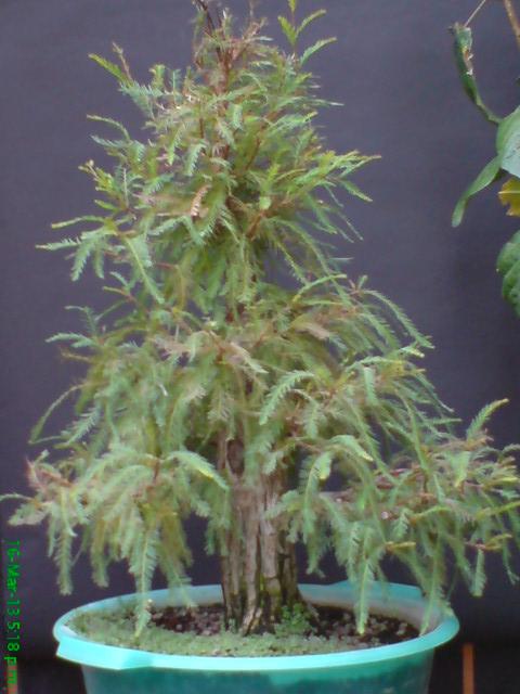 mi primer taxodium mucronatum (Ahuehuete) - Página 2 Rgh1363820583y