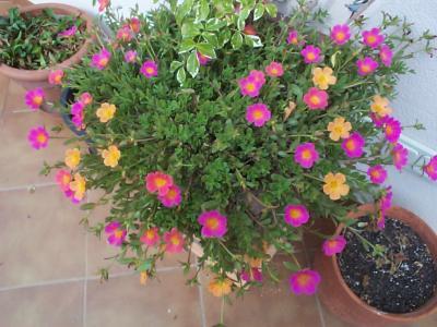 Flores para sitio a pleno sol en yucat n m xico for Plantas para pleno sol