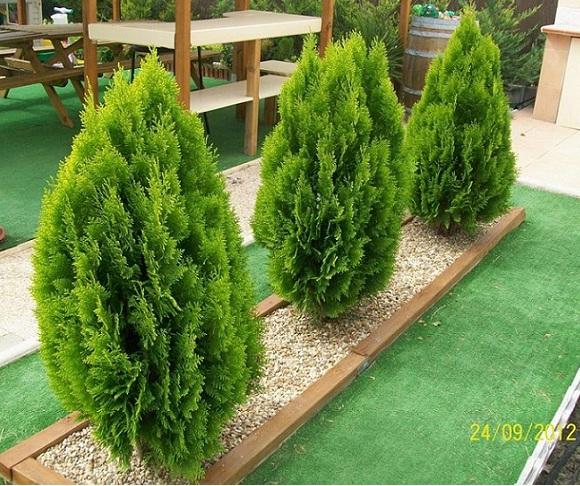 Germinar semillas de tuya thuja sp - Arbolitos para jardin ...