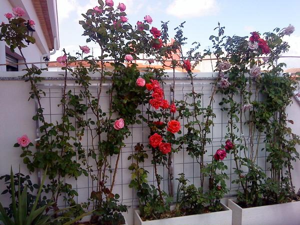 Rosales de pie bajo y trepadores perfumados para terraza en albacete - Rosales trepadores perfumados ...