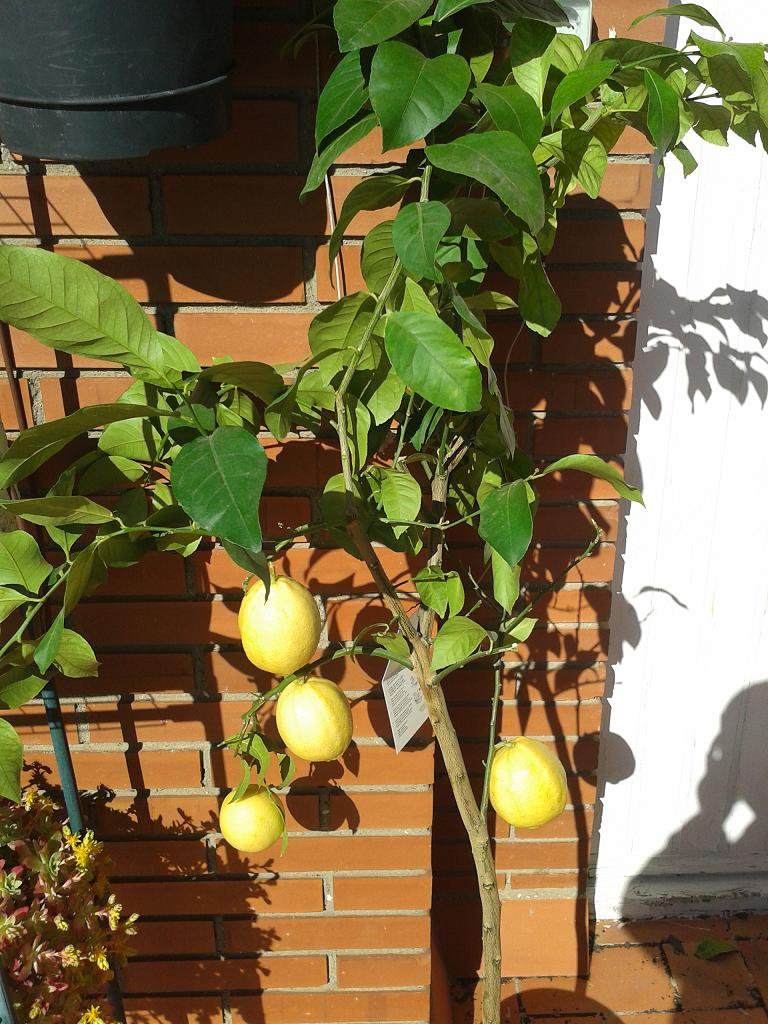 Cultivo de c tricos en macetas p gina 73 for Viveros alcanar