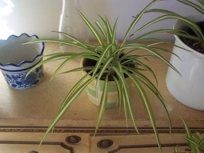Plantas de interior que no necesiten excesivos cuidados - Plantas de interior cintas ...