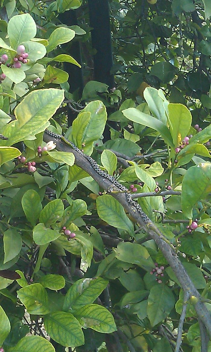 Es culebra de herradura estaba sobre una rama de limonero for Casa jardin culebra