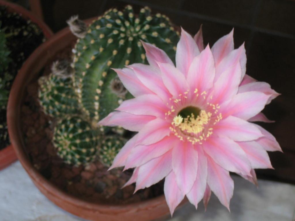 Capullos por todas partes - Infojardin cactus ...