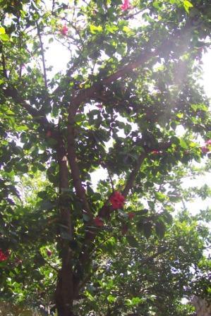 Planta arbol hibiscus for Hibiscus arbol