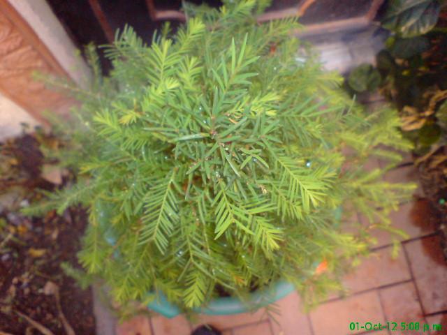 mi primer taxodium mucronatum (Ahuehuete) Opt1350841093n