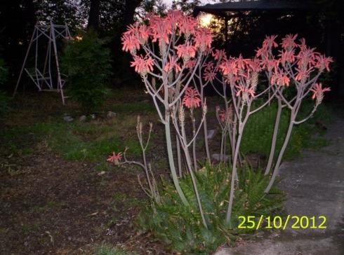 Rboles que crezcan r pido y sin necesidad de riego - Como transplantar cactus ...