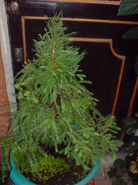 mi primer taxodium mucronatum (Ahuehuete) Viu1350841055t
