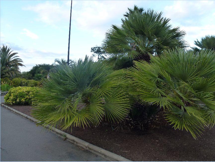 Fotos de rboles arbustos e informaci n p gina 37 - Caesalpinia gilliesii cultivo ...