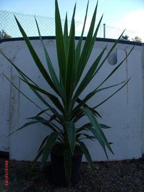Venta de plantas de interior - Yuca infojardin ...